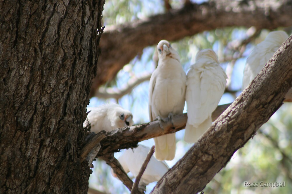 White Cockatoo's at Bourke. by Ross Campbell