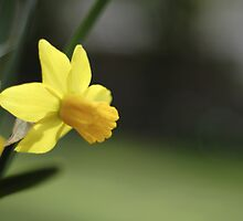 Daffodil by Will Hore-Lacy