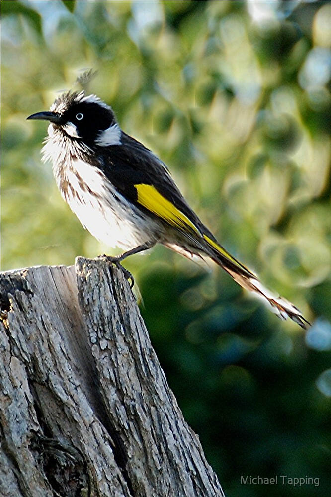 New Holland Honeyeater by Michael Tapping