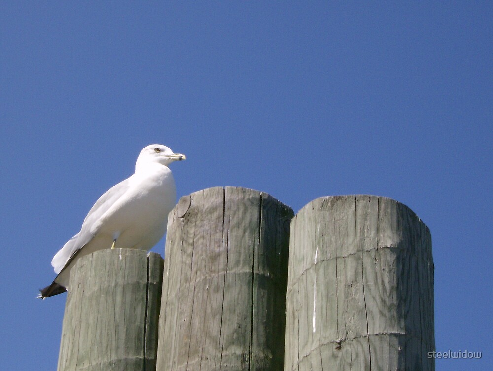 Seagull by steelwidow