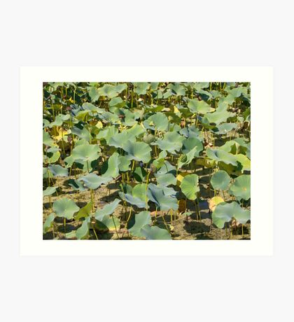 Summer pond lillies Art Print
