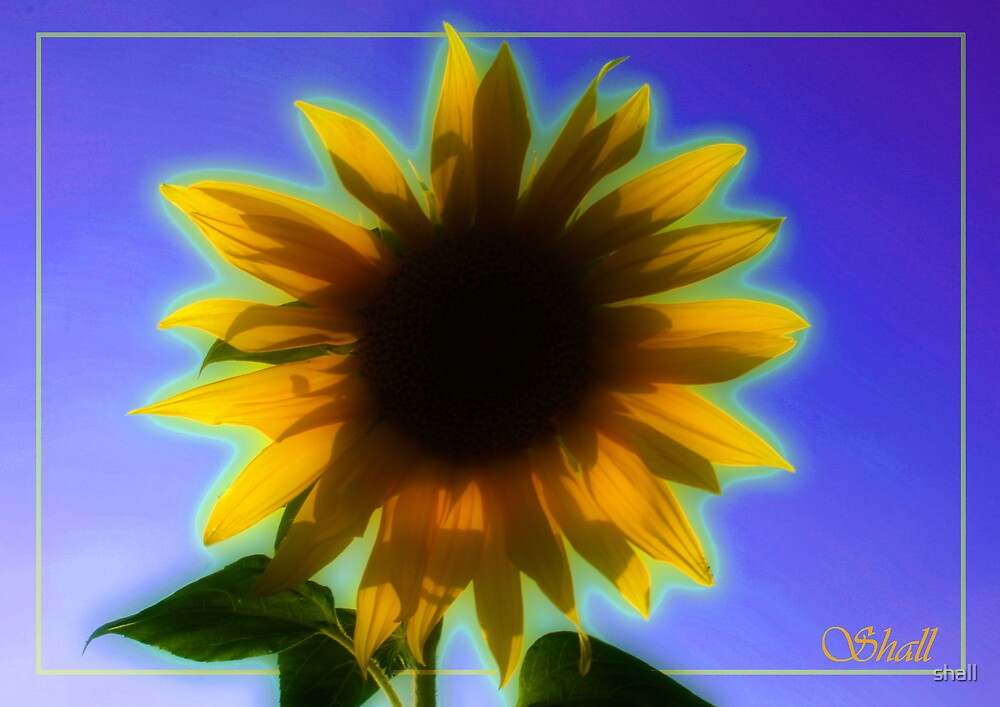 Pretty Sunflower by shall