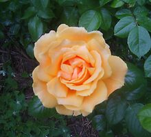 Peachy rose by Tanya Housham
