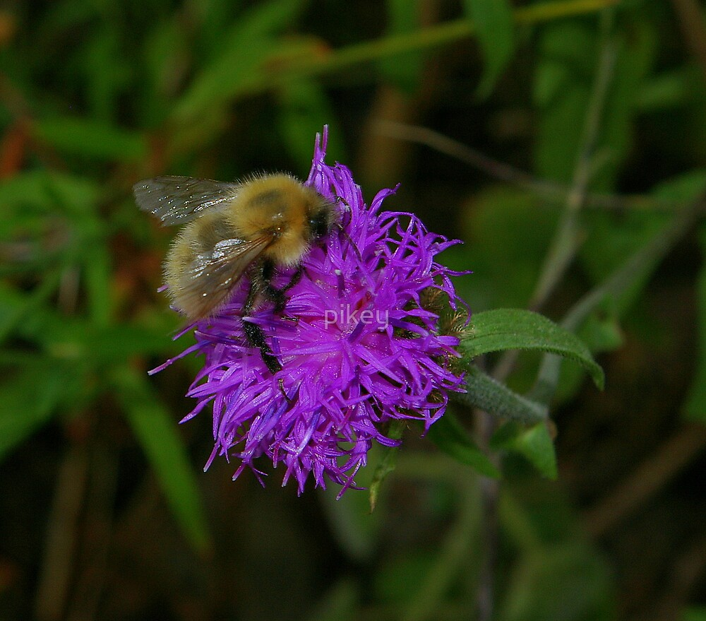 Hungry Bee by pikey