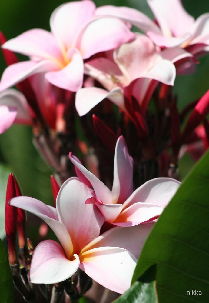 pink aroma by nikka