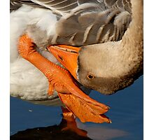 Upside Down Goose Photographic Print
