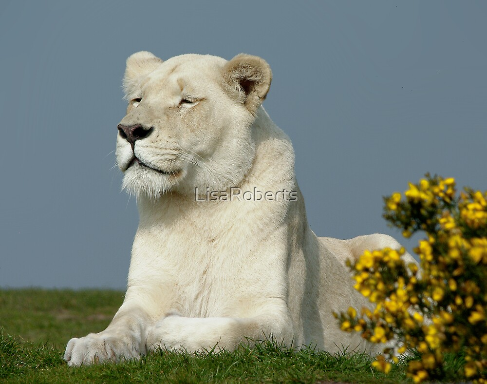 White Lioness by LisaRoberts