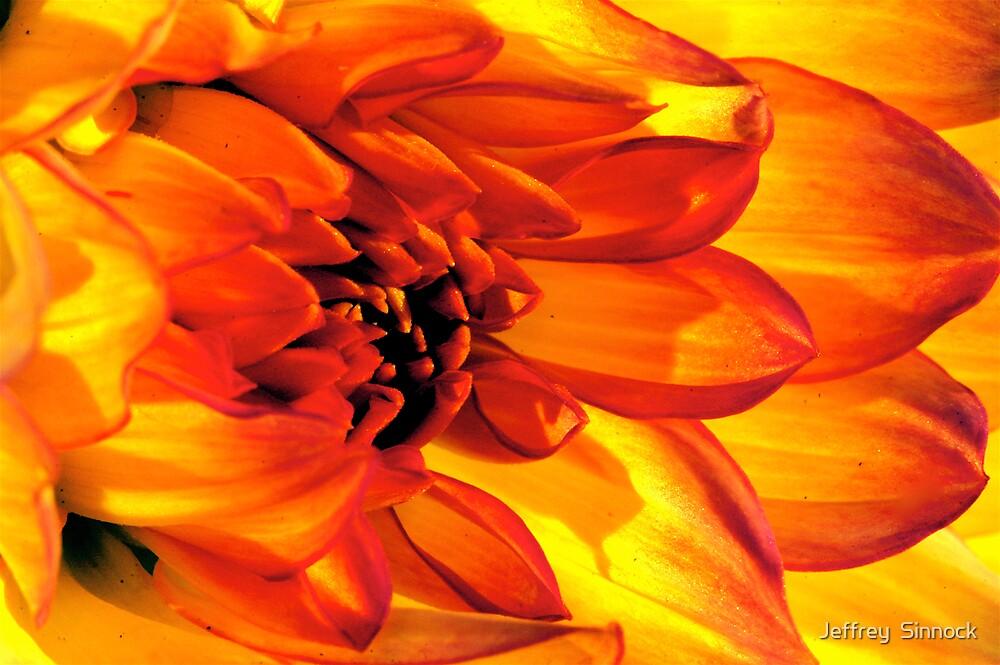 Dahlia Petals all aglow by Jeffrey  Sinnock