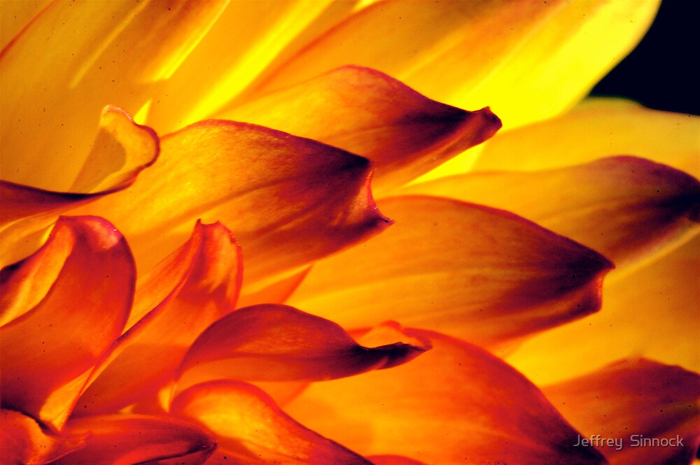 Dahlia petals close up by Jeffrey  Sinnock