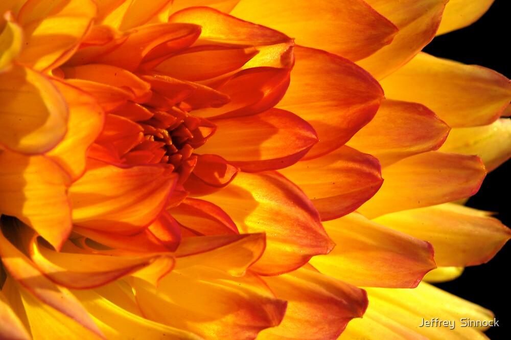 close up of Dahlia flower by Jeffrey  Sinnock