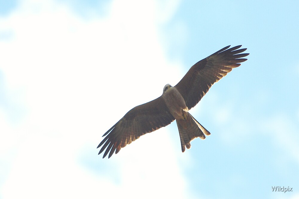 Black Kite (2) by Wildpix