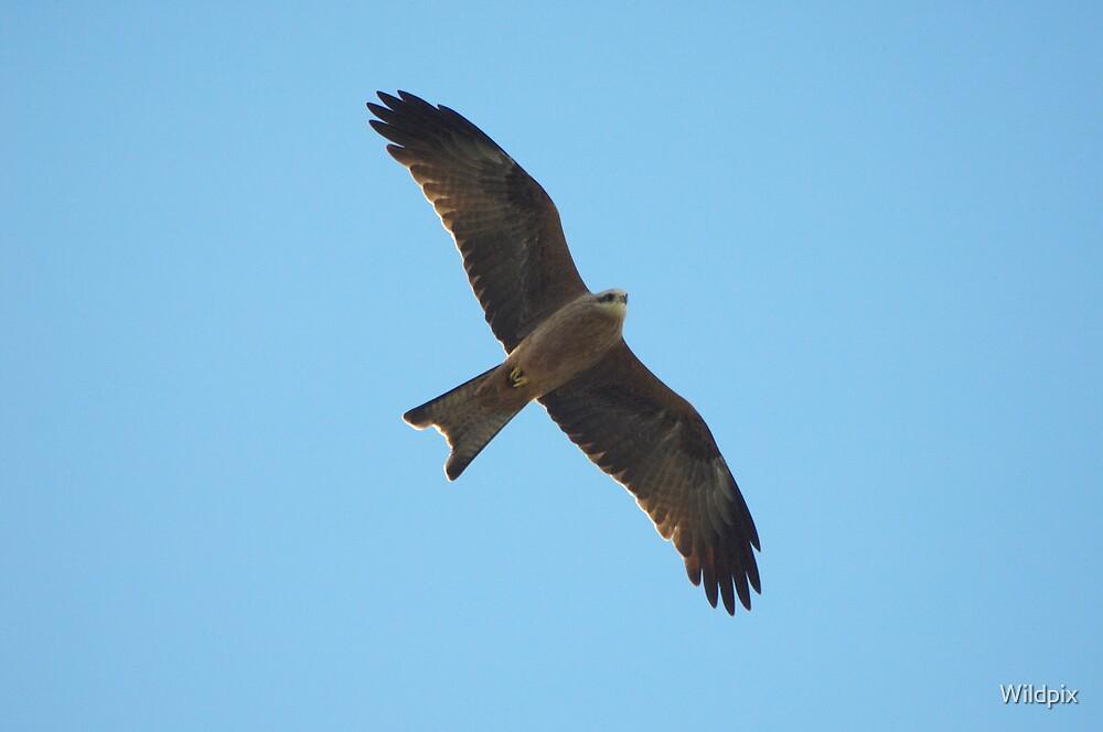 Black Kite (3) by Wildpix