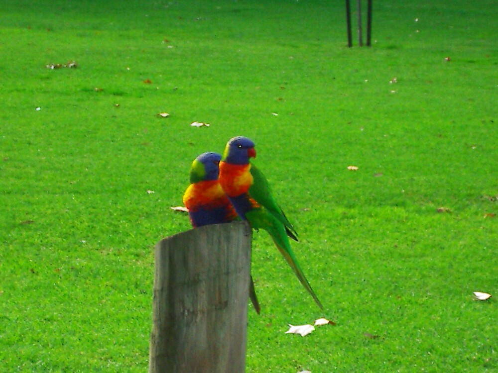Two parrots by StephenH
