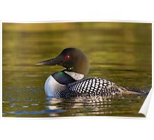 Evening Loon - Common Loon Poster