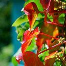 Red Ivy by Carl Osbourn