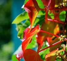 Red Ivy by Carl Osbourn
