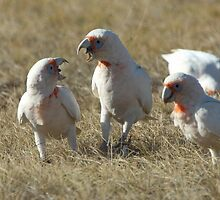 Long-Billed Corellas by Wildpix