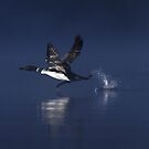 Flight of the Loon - Common Loon, Wilson Lake by Jim Cumming