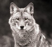 portrait of a prairie wolf by Shell Spillenaar