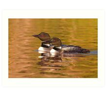 Taking a quick break - Common Loons Art Print