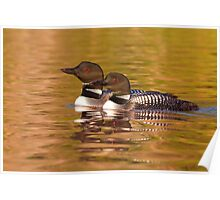 Taking a quick break - Common Loons Poster