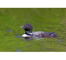 Common Loon with chick Photographic Print