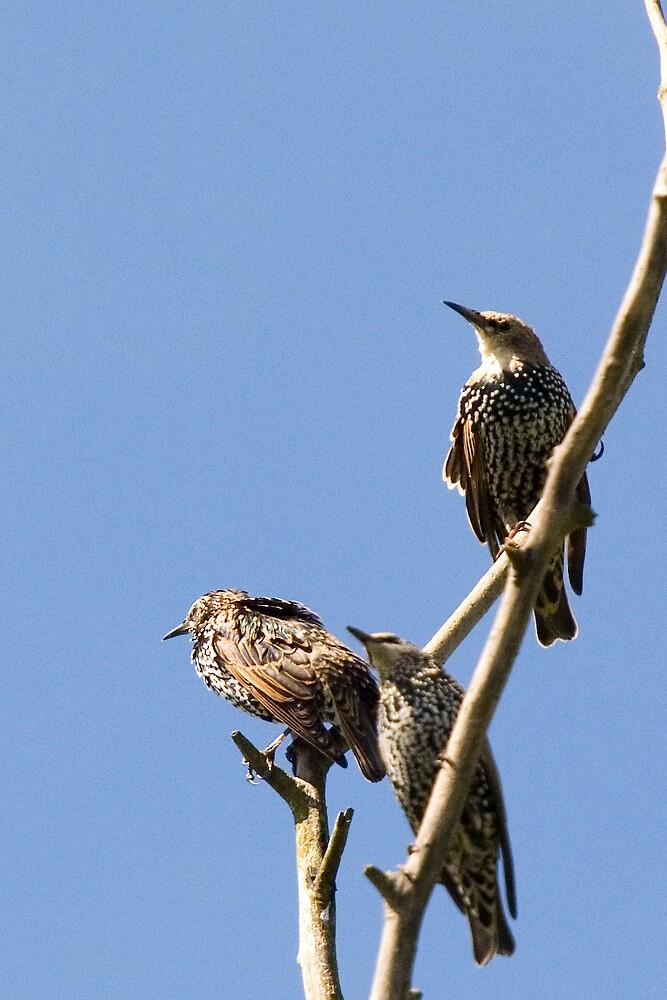 Bird Trio by Stojs