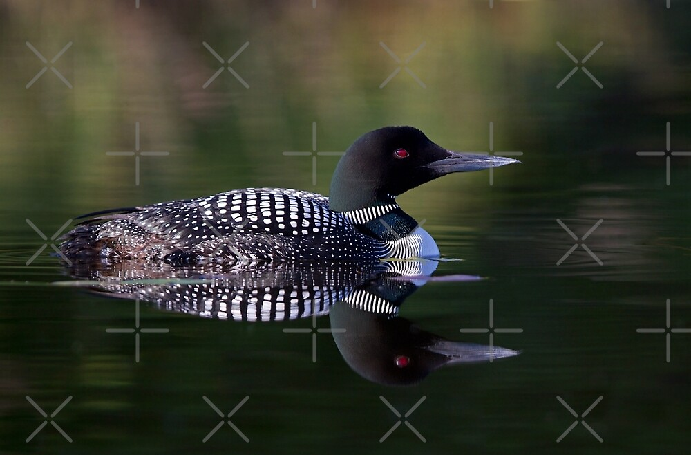 Reflective Loon - Common Loon by Jim Cumming
