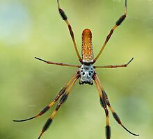 Golden Silk Spider by Bonnie T.  Barry