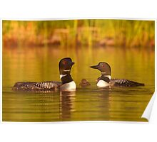 Common loon family portrait Poster