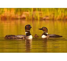 Common loon family portrait Photographic Print