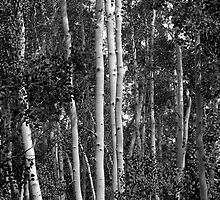 Aspen Trunks by Shane Smith
