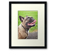 Cute French bulldog puppy, dog looking up 2 Framed Print
