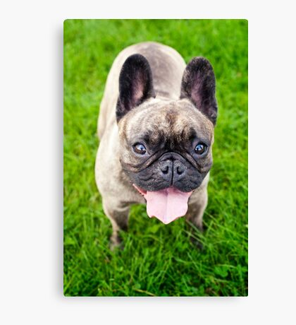Cute French bulldog puppy, dog looking up 3 Canvas Print