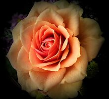 pale orange rose by cynthiab