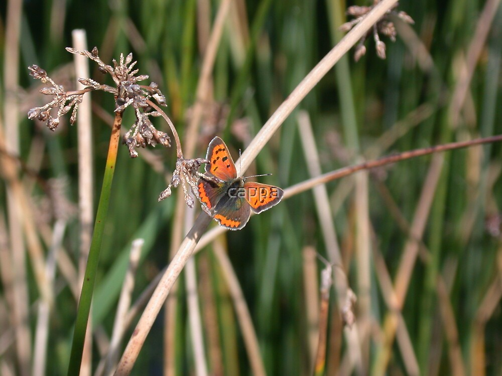 Small Copper butterfly by cappa