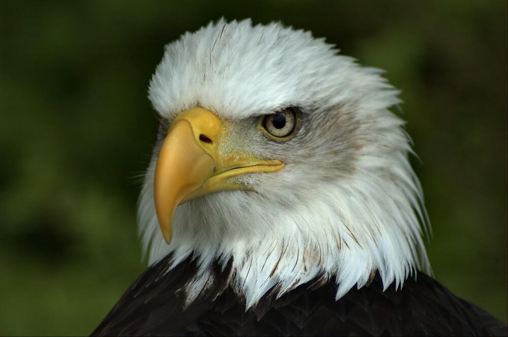 Bald Eagle by Glenn Mason