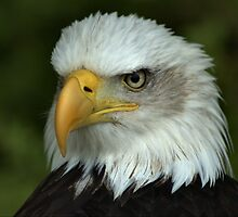 Bald Eagle by Glenn Mason