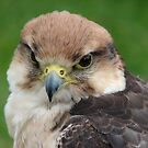 Bird of Prey by Andy Harris