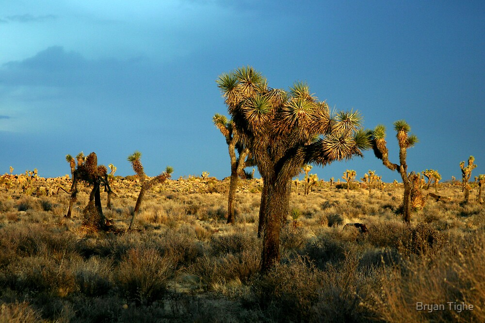 Joshua Tree by Bryan Tighe