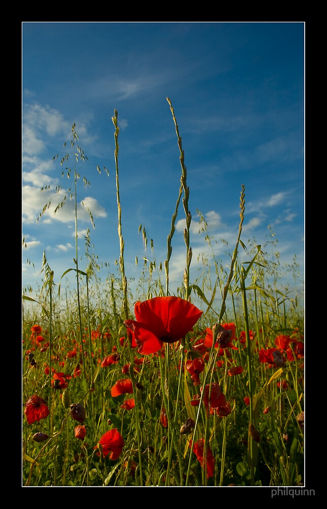 Poppie fields v1 by philquinn