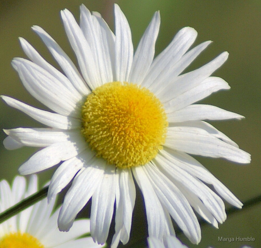 Single Daisy by Marya Humble