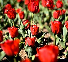 Tulip Beds by Marcus Mawby