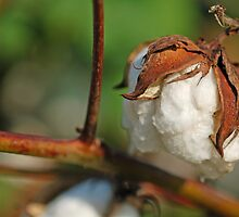 100% Cotton by Bonnie T.  Barry