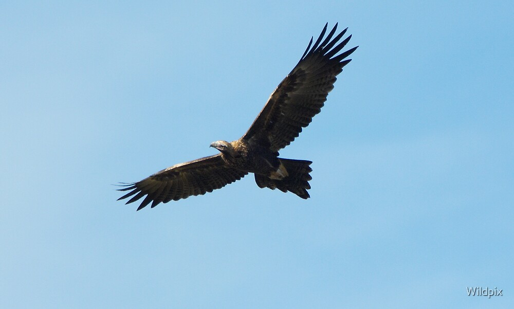 Wedge-Tailed Eagle in Flight (3) by Wildpix