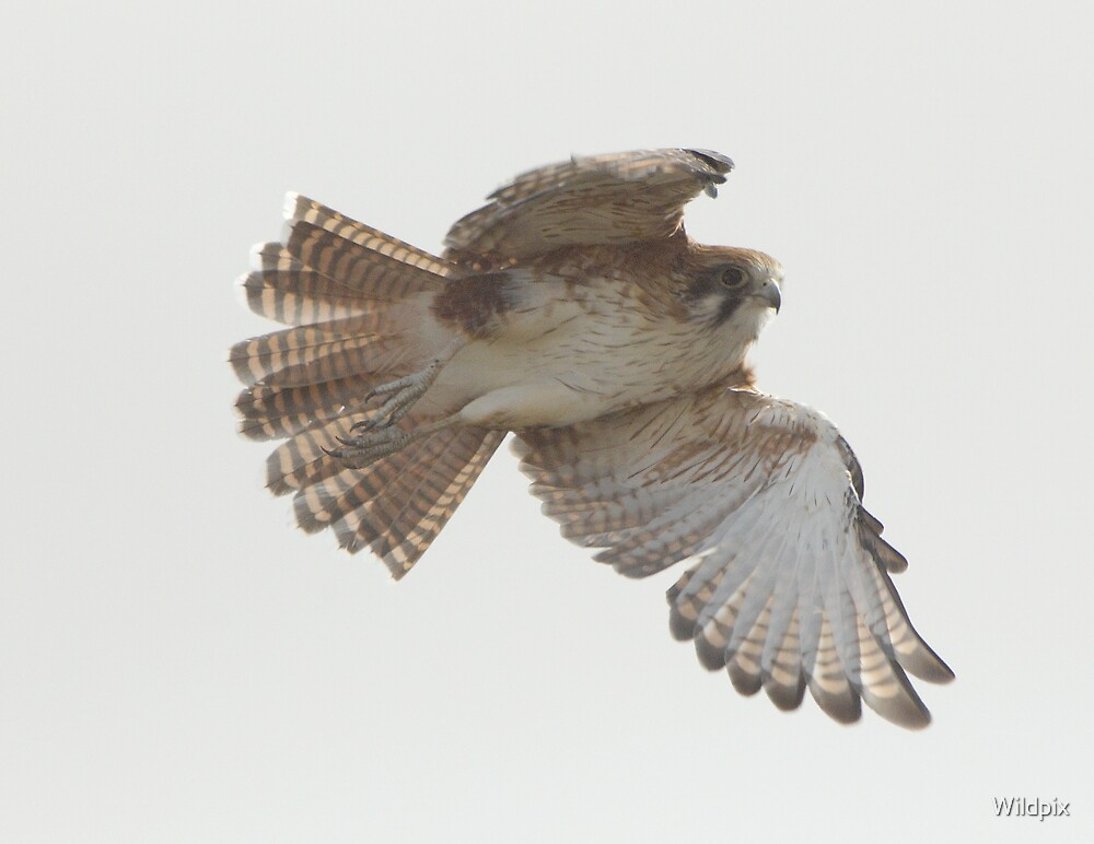 Wild Brown Falcon in flight (2) by Wildpix
