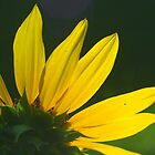 Sunflower by discerninglight