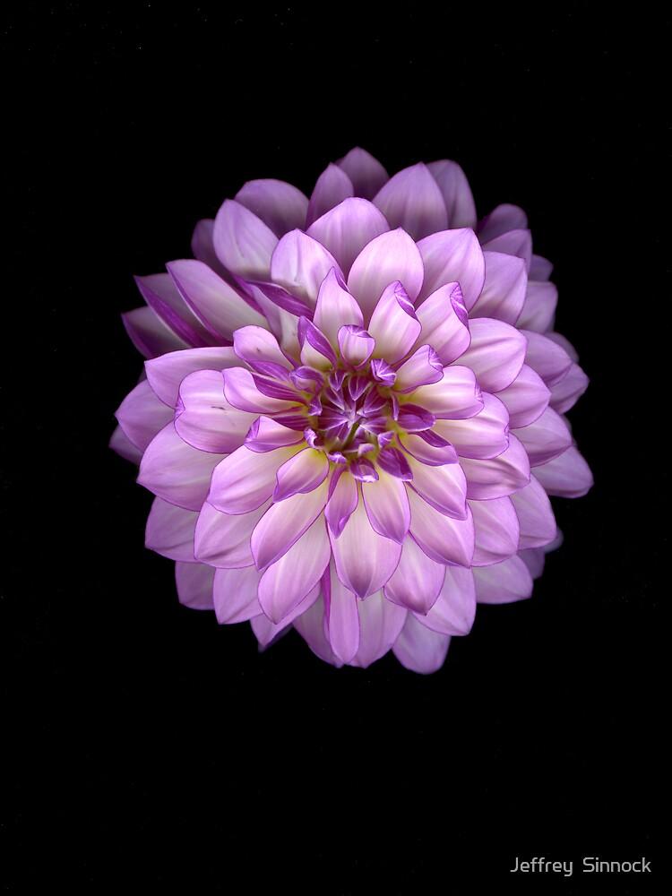 Purple and white Dahlia by Jeffrey  Sinnock