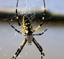garden spider by tomcat2170