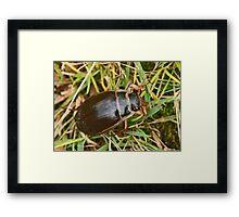 Great Diving Beetle Framed Print